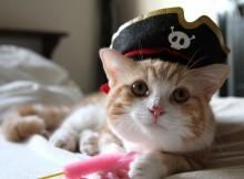 マンチカン菊之助のももクロ海賊帽子コスプレ、かぶりもの