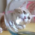 菊之助さん、金魚鉢を怪しむ2