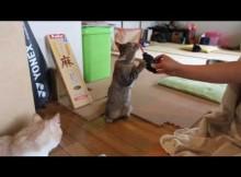 猫、カメラブロアーに立って応戦 マンチカン菊之助・力丸