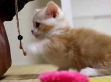 ストラップをパンチングボールがわりに遊ぶ仔猫