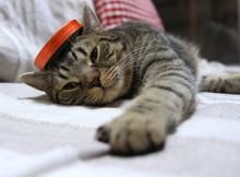宦官帽子風のものをかぶる猫