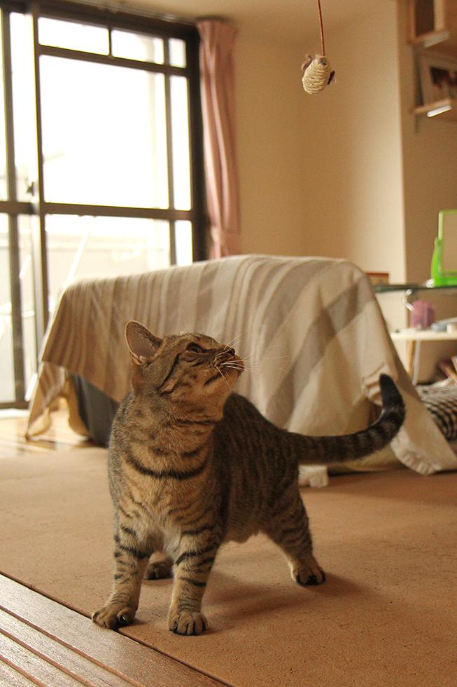 ネコじゃらしに跳ぶ機会をうかがうマンチカン力丸