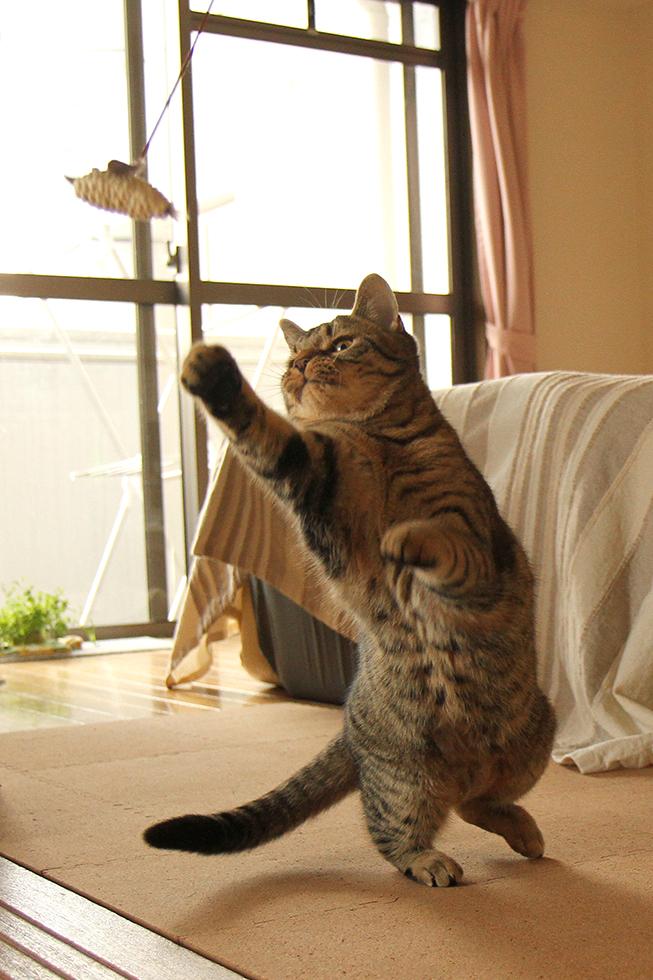 猫じゃらしに跳びかかり小ジャンプ