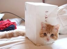 マンチカン菊之助ー翔べ!-ガンダム-もといニャンダム箱(ガンダム猫)