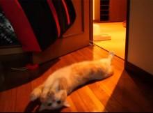 ねぇ、起きて遊ぼ!甘え鳴き 猫目覚ましオン マンチカン菊之助