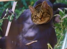 【はめ猫】哺乳類 大猩猩 ゴリラねこです。マンチカン力丸