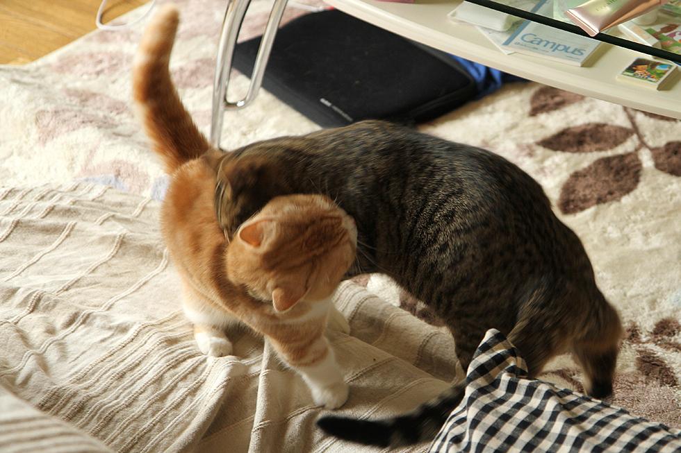 猫のリッキー低いタックルからバックを狙う