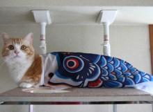 鯉のぼりコスプレにたべられるネコ菊之助
