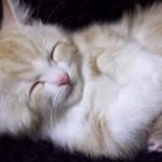 好々爺な寝顔の猫、菊之助