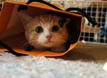 ネコといえばやっぱ紙袋ですよね。マンチカン菊之助パワフル突撃!