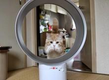 ダイソン、猫が輪くぐりできるただ一つの扇風機マンチカン菊之助