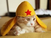 マンチカン菊之助 ケロロ軍曹さんの帽子でコスプレです
