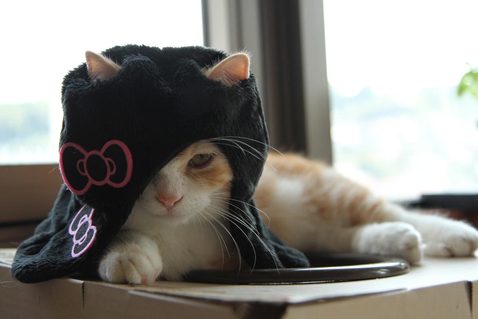 マンチカン菊之助 貞子×キティ コスプレ・かぶりもの猫帽子