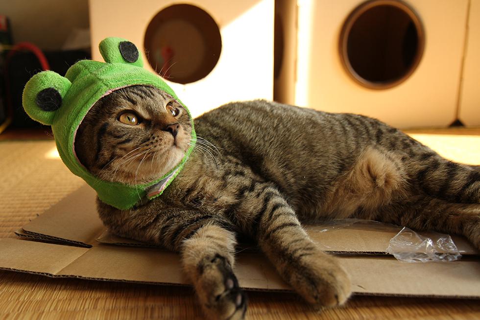 マンチカン力丸・カエル帽子でコスプレ