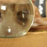 にょ~ん金魚鉢覗き込んでみるマンチカン菊之助