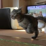 逃げろ!!師も猫も走る12月後ろ足 2脚で走る猫