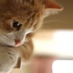 物悲しい猫マンチカン菊之助