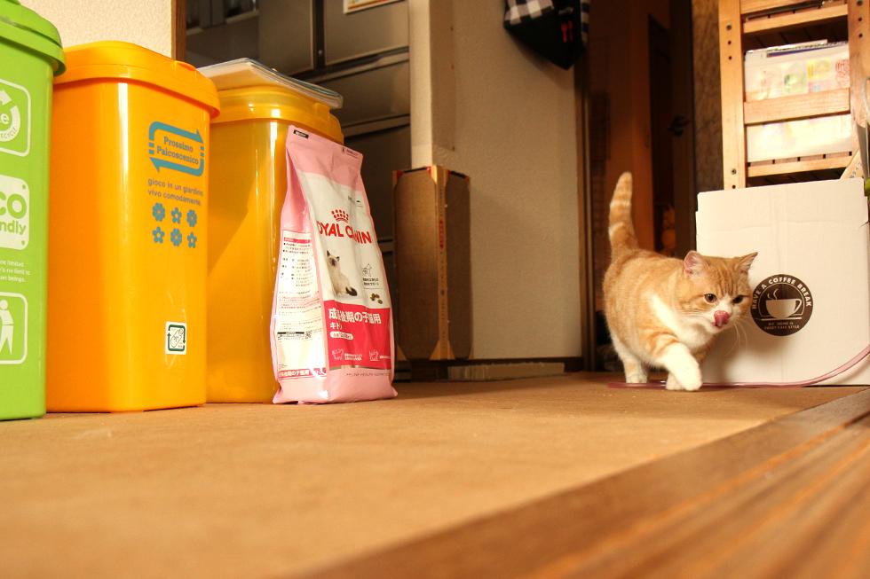 猫の菊さん わが物顔で練り歩く