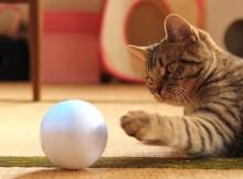 マンチカン力丸 Spheroに寝転んで猫パンチ