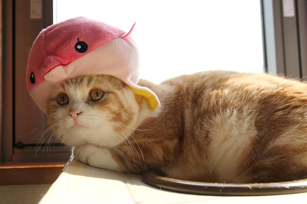 猫 菊之助 イルカの帽子