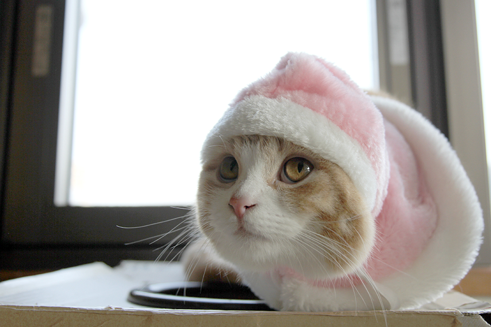 マンチカン菊之助ピンク頭巾のかぶりもの