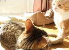 黒い妨害!!菊の雄叫び ネコのケンカ / Cats fighter!