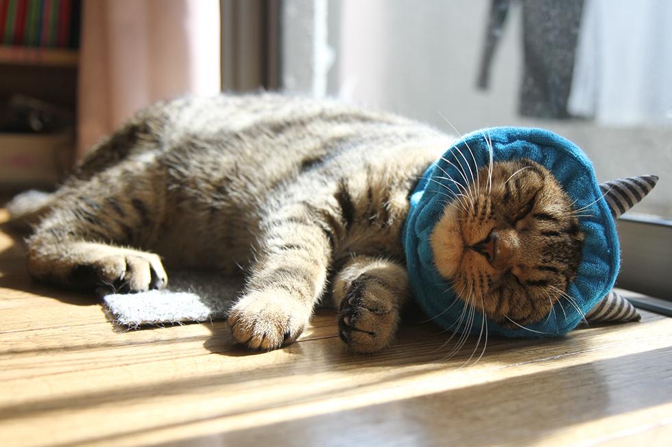 猫のリッキー 雷様/青鬼 帽子で爆睡中