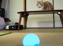 遠隔の猫じゃらし!Sphero 2.0で遊ぶマンチカン菊之助