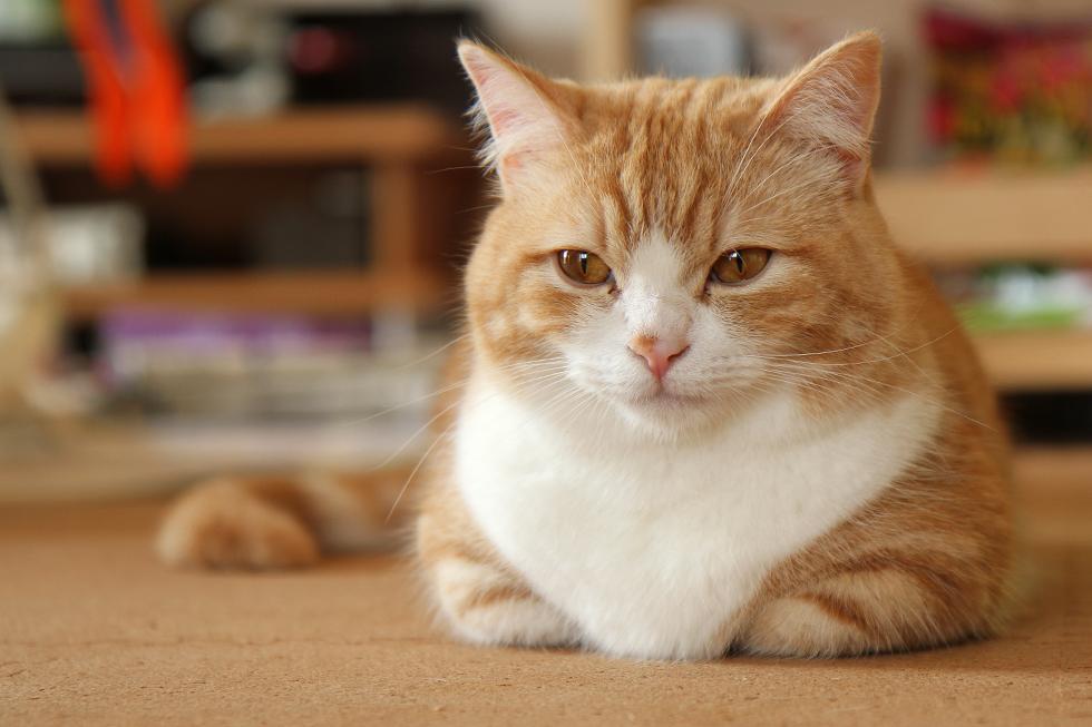 マンチカン菊之助 猫らしく香箱座り