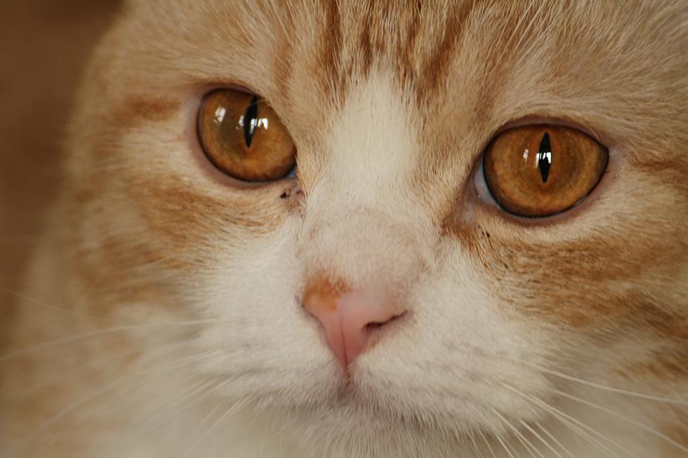 マンチカン菊之助お顔アップ画像