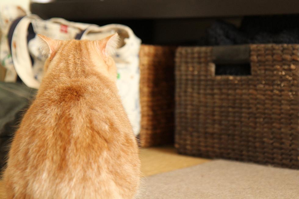 猫は自分の名前を認識しているのか?ということでマンチカン菊之助をよんでみましょう