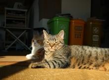 ネコの日光浴が好きな理由とマンチカンの日向ぼっこ画像