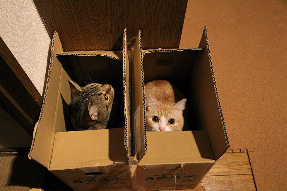 空き箱は猫ホイホイマンチカン菊之助。力丸