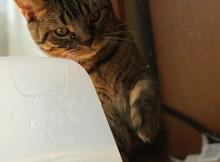 真剣に水で遊ぶ猫
