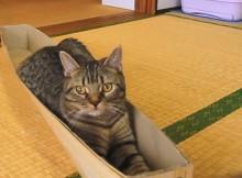 ねこさんほそい箱はジャストフィットで気持ちいいようです。マンチカン力丸