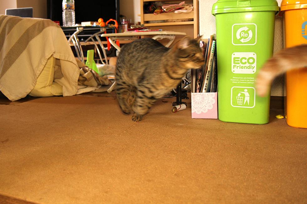 この後、楽しく猫チェイスをやっておりました