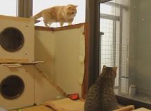 こんな雪舞う窓際は二匹もキャッキャとはしゃいでいるよマンチカン菊之助と力丸