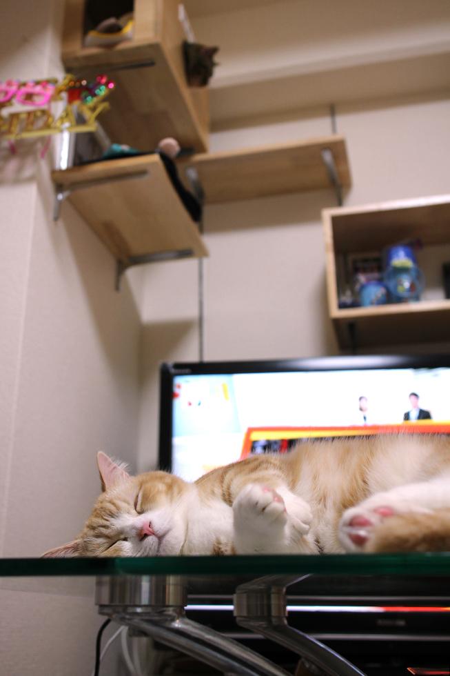 マンチカン菊之助帰るとこんな感じで寝ている時も