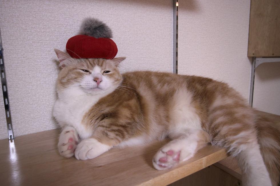 マンチカン菊之助に赤ベレー帽コーディネート