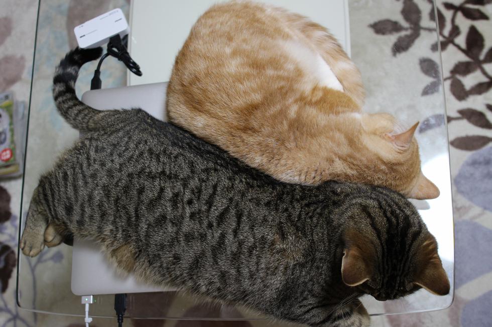 稀に発見できるマンチカン達の猫団子
