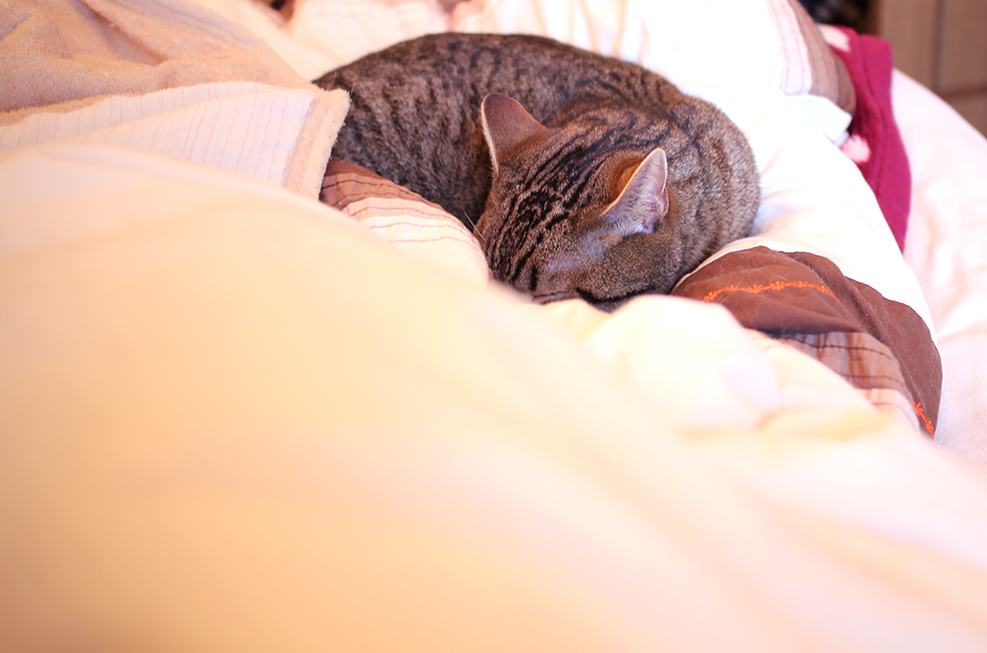 マンチカン力丸は熟睡中