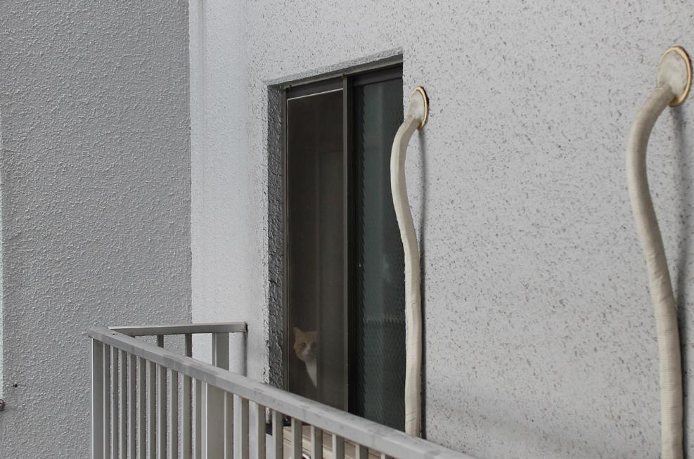 マンチカン菊之助と力丸の窓からの送り迎え