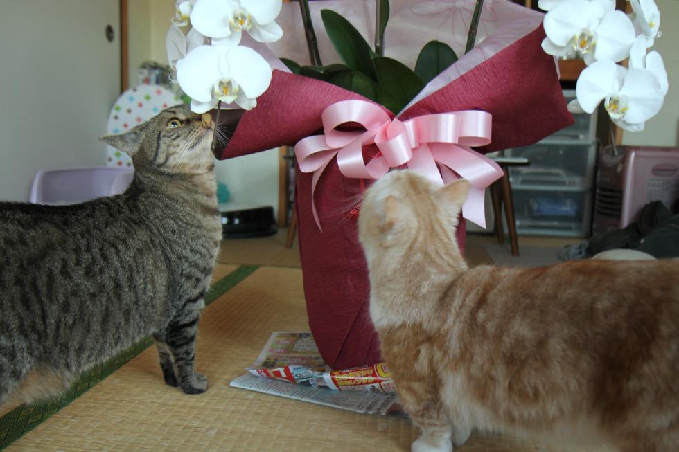 マンチカン力丸のお誕生日を胡蝶蘭でお祝い