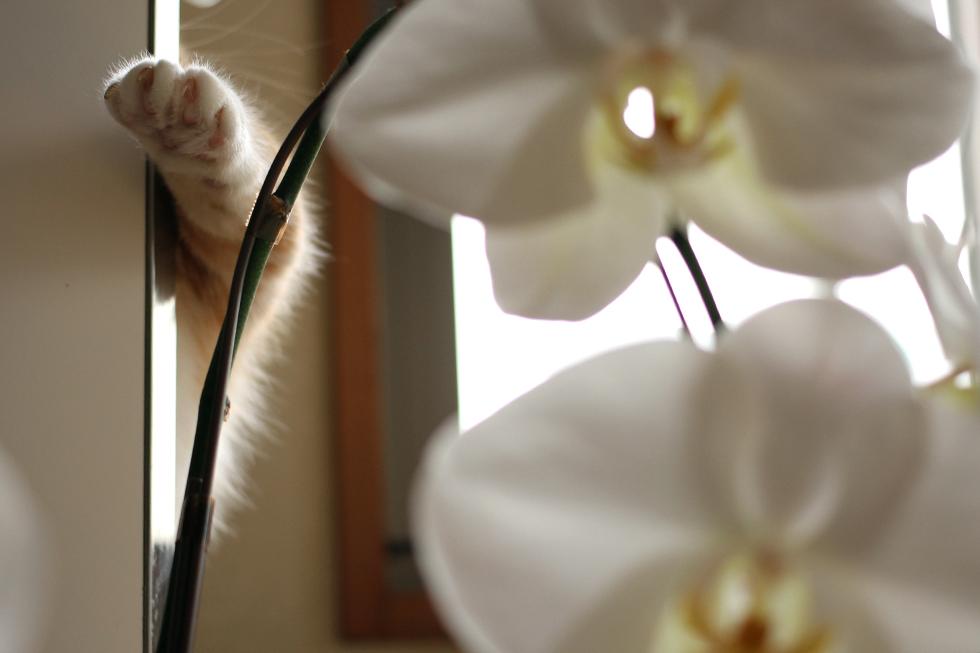 ついでに菊之助の手と胡蝶蘭