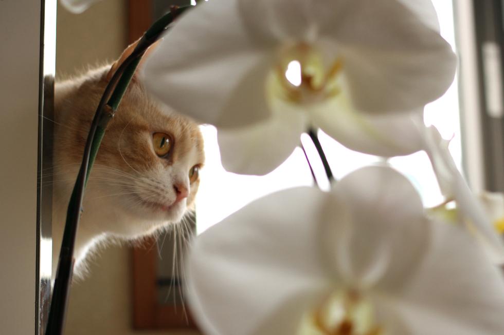 マンチカン菊之助お花はどうでもよいようです