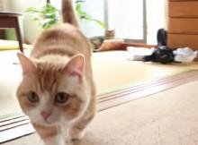 マンチカン菊之助の歩く姿を『世界ネコ歩き』に倣って目線で撮影
