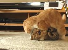 最強のもとめる猫さんへ。この夏は抑え込みがおすすめです!マンチカン菊之助