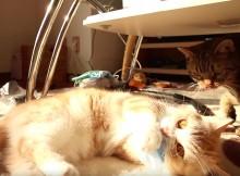 疑似けりぐるみ、ポケットティッシュに蹴りをおみまい猫キックするマンチカン菊之助