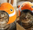 カクレクマノミさん帽子で比べる、マンチカン力丸成長のビフォー・アフター