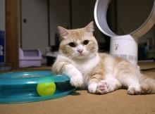 猫は偉そうにまるで人間のように肘をつく、マンチカンもまた然り